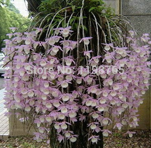 Livraison gratuite .100 pcs / sac, graines Dendrobium, graines en pot, graines de fleurs, (couleurs mélangées) 49%