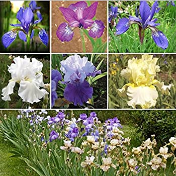 100+ Seeds of Iris Mix - Blue Purple Yellow & White Colored Mix of Bearded and Siberian iris Graceful and Charming Blooms 2 Feet Tall! Forms Rizomes