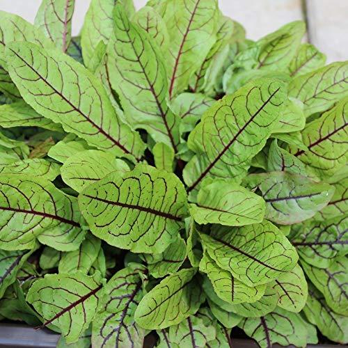 ca. 400 Samen roter Sauerampfer - Rumex sanguineus, auch Blutampfer genannt