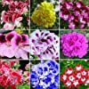 WuWxiuzhzhuo, 50 semi misti di geranio, pelargonium hortorum, pianta fiorita per balcone, giardino #2