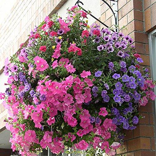 200PCS Pure-couleur Pétunia Graines de fleurs vivaces Graines Fleurs pour jardin Bonsai Pot plantation Pétunia DECORATIFS Blue Sky