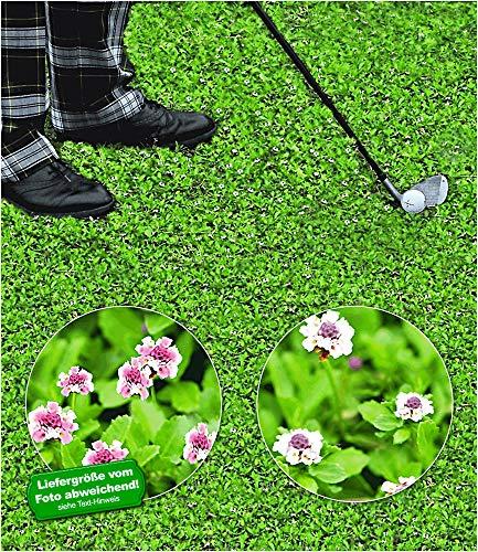 BALDUR-Garten Bodendecker winterhart Lippia Summer Pearls, 8 Pflanzen, Kollektion rosa und weiß