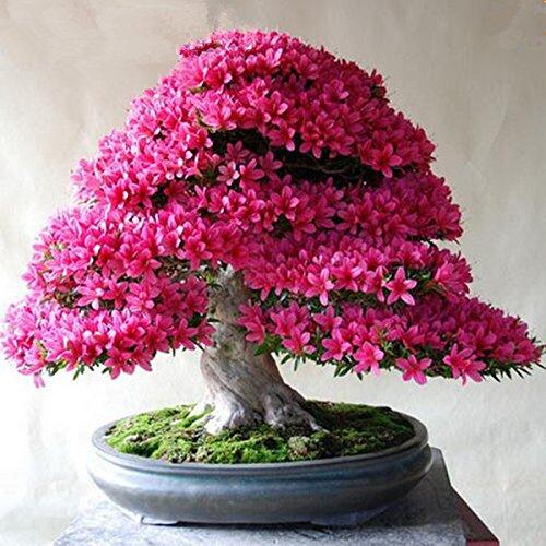 100 PC / Satz Seltene Bonsai 13 Sorten Azalea sät DIY Haus & Garten Pflanzen Looks Like Sakura Japanese Cherry Blooms Blumensamen