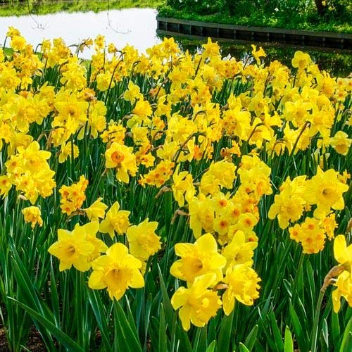 Wild Daffodil Flower Bulbs