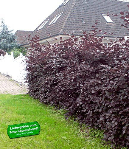 BALDUR Garten Blutbuche, 5 Pflanzen...