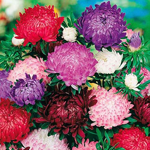 SummerRio Garten-50 Pcs Selten Chrysantheme Samen Asternsamen Supermischung Blumensamen mehrjährig winterhart Reichblütig Blumen ideal für Garten Balkon