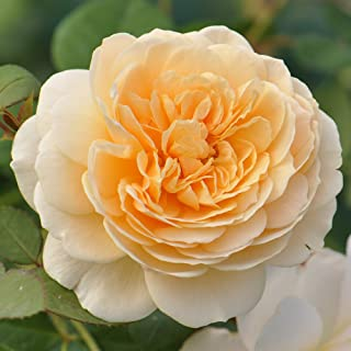 Own-Root One Gallon Teasing Georgia David Austin Rose by Heirloom Roses
