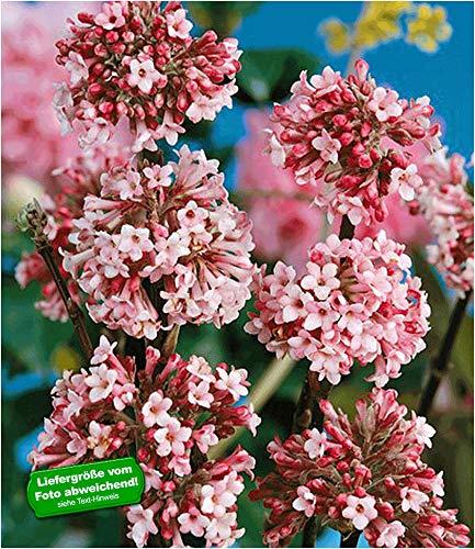 BALDUR Garten Winter-Schneeball 'Charles Lamont', 1 Pflanze Viburnum bodnantense