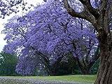 25 Semillas púrpura azul Jacaranda Mimosifolia árbol, para bonsai o paisajismo