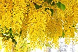 Indian Cassia fistula, Golden Shower Flower Tree seeds -