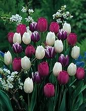 Purple Rain Mix Tulip 50 Bulbs - Lush Violet Hues & White - 12/+ cm Bulbs
