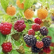 木いちごの苗人気3種セット(ボイソンベリー・インディアンサマー・ファールゴールド) のセット!果樹苗木