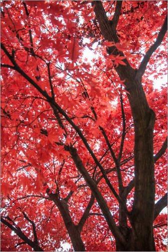 Poster 100 x 150 cm: Japanischer Ahorn...