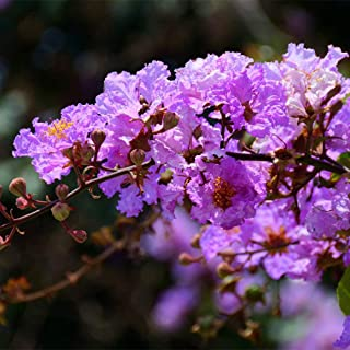 20 Pcs Lagerstroemia Seed Speciosa Brilliant Pink Blooms Crape Myrtle Small Tropical Tree Shrub Seeds Gardening Bonsai