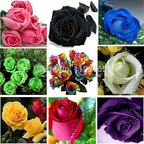 100pcsOn vente! 120pcs 12 couleurs Rose Chinese Seeds - arc-en-Rose Noir Blanc Rouge Violet Vert Bleu multicolore fleur rose Se