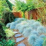 200 Unids/Bolsa Semillas De Hierba De Festuca Azul Semillas De Bonsái De Jardín De Alto Rendimiento Paisajismo Factible Sedum Semillas de festuca azul