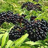Adams Elderberry Plant American Beautiful Native Perennial Shrub - Sambucus Live Plant (6-10 Inches)