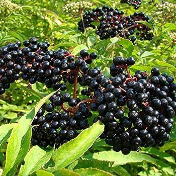 elderberry plants for sale