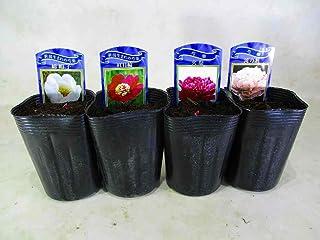 芍薬(和) シャクヤク の苗 4種組 綿帽子・紅日輪・火祭・滝の粧 3号ロングポット