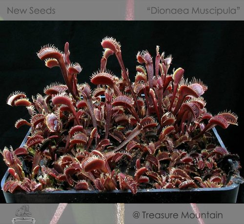 1 Original Pack, environ 100 graines / Pack, Venus Flytrap Prime Dionaea Muscipula Dioneia Graine de plantes # NF343