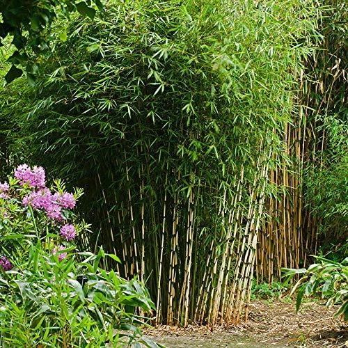 Pflanzen Kölle Bambus-Fargesia Campbell, Höhe 80-100 cm, im 7,5 Liter Topf