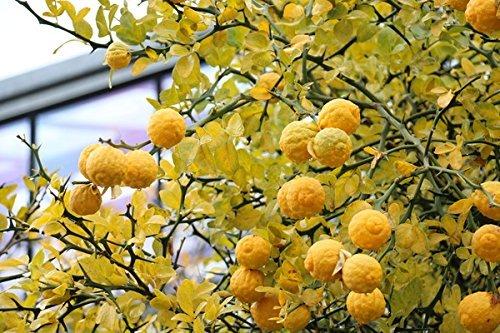Dreiblättrige Orange 5 Samen, Poncirus Trifoliata Frostharte Zitrus