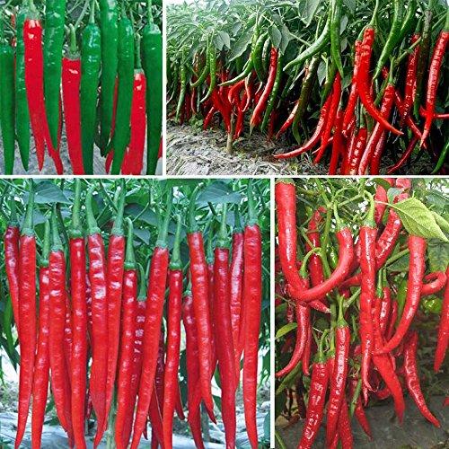 GUWX Hot vend des graines de poivre long rouge, Graines piment rouge, graines de légumes - 100 particules de semences