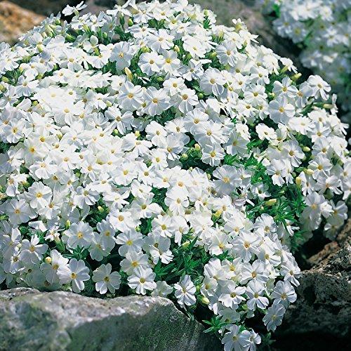 Weiße Staude Polsterphlox -phlox subulata- Bodendecker weiße Blüten immergrün winterhart mehrjährig pflegeleicht - Garten Schlüter - Pflanzen in Top Qualität