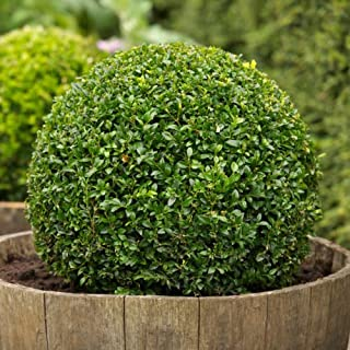 Best buxus sempervirens bonsai Reviews