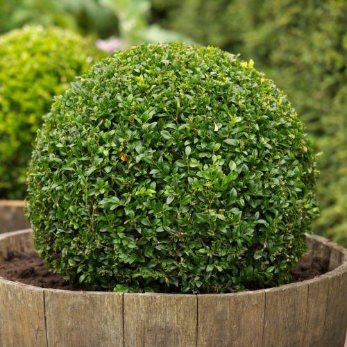 30 Samen - Buchsbaum, Buxus sempervirens, Samen, (Hardy Evergreen, Topiary, Hecke, Bonsai)