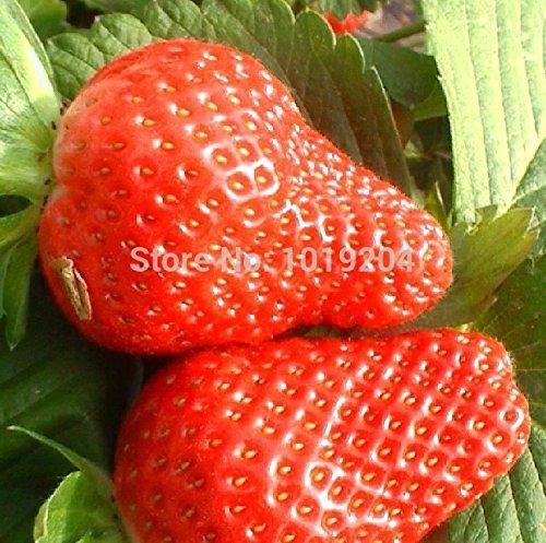 Promotion Graines Blackberry bio juteux et délicieux Mulberry fruits Graines Mûres semences Balcon Fruits - 100 Pcs Novel Voir