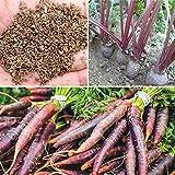 Auntwhale 500 semillas de zanahoria morada
