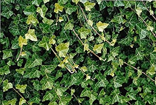 Hirt's Baltic English Ivy 48 Plants - Hardy Groundcover -1 3/4