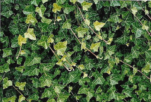 Hirt's Baltic English Ivy 8 Plants - Hardy Groundcover