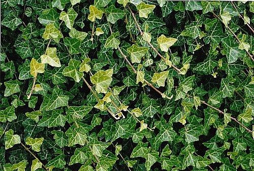 Hirt's Baltic English Ivy 8 Plants - Hardy Groundcover -1 3/4' Pots