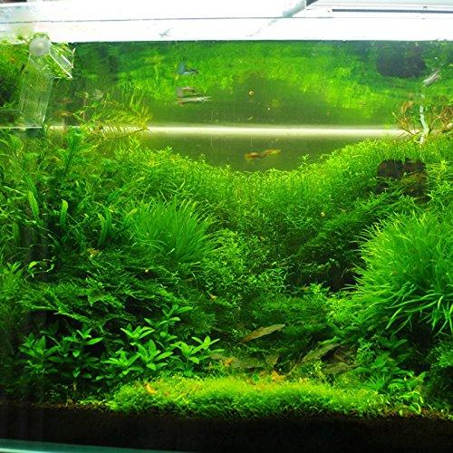 Graines quenouilles étang plantes, merveilleux autour d'un étang ou Rock Garden, 50 particules / Sac