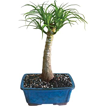 Amazon Com Brussel S Live Pony Tail Palm Indoor Bonsai Tree 5 Years Old 12 To 20 Tall With Decorative Container Plant Germination Kits Grocery Gourmet Food