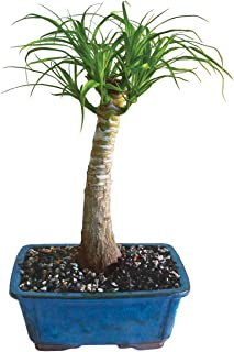 Brussel's Live Pony Tail Palm Indoor Bonsai Tree - 5 Years Old; 12