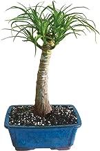 bonsai ponytail palm tree care