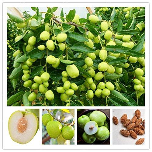 Hot vente Jujube Graines chinoises Big Jujube Graines Fruit Bonsaï rares graines de fruits tropicaux 10 Pcs bricolage jardin