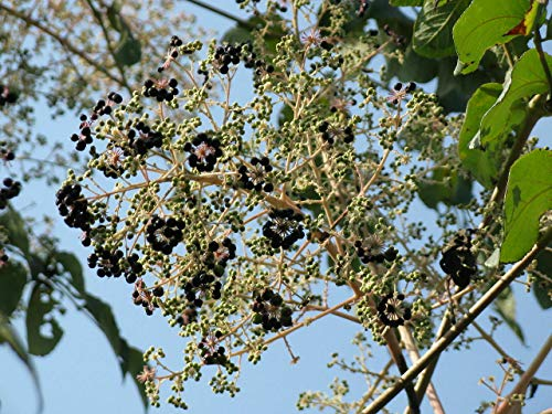 Japanische Aralie Aralia elata Pflanze 25-30cm Angelikabaum Teufelskrückstock