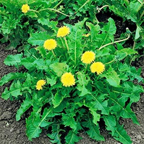 C-LARSS 50 Unids/Bolsa Semillas De Diente De León, Non GMO Heirloom Prolific White Easy Plant Taraxacum Mongolicum Semillas Para El Hogar Semilla