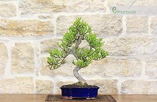 Pepper bonsai tree (56)
