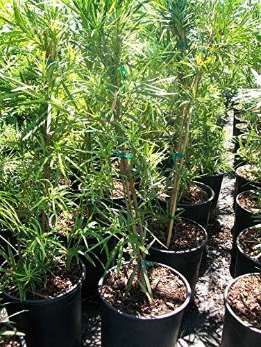 FERRY Bio-Saatgut Nicht nur Pflanzen: Japanische Eibe Big Hethy 100 Seeds G. Large Leicht zu wachsen Landschaftsbau