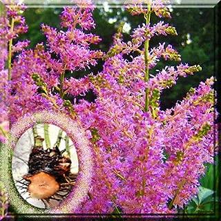 Best purple astilbe plants Reviews