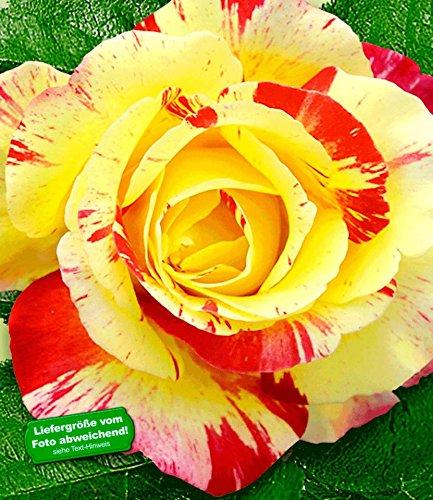 BALDUR Garten Delbard® Malerrosen® 'Camille Pissaro®', 1 Pflanze Edelrose