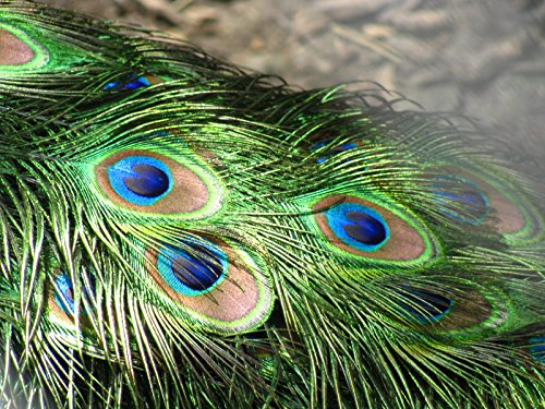 Pack of 100 pcs All Real Eye Peacock Feathers 10 - 12 Inches