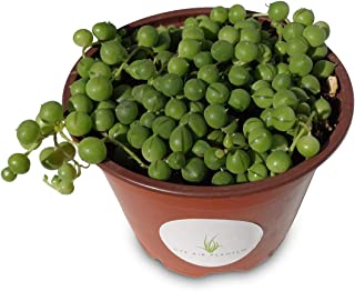 String of Pearls Succulents Senecio Rowleyanus (4