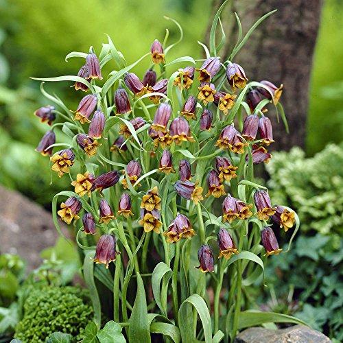 Fritillaria uva vulpis - Fuchs Traube fritillary uva vulpis - 5 Blumenzwiebeln