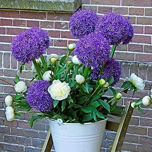 3 Stück Lila Allium Zwiebeln Staude Nicht GVO Blume Allium giganteum Indoor Outdoor Dekoration Garten Farm Planting Spring Blooming